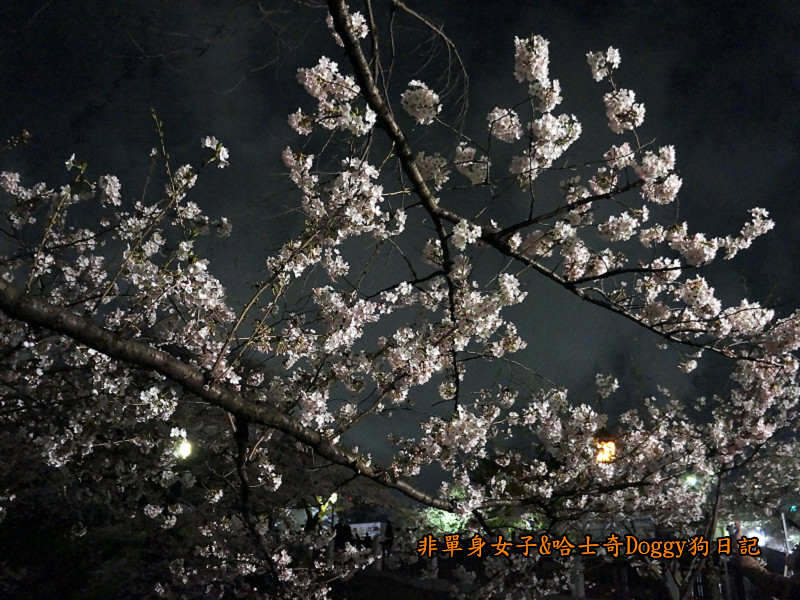 日本東京北之丸公園千鳥之淵賞夜櫻花04