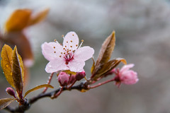 Waterdrops on blossom