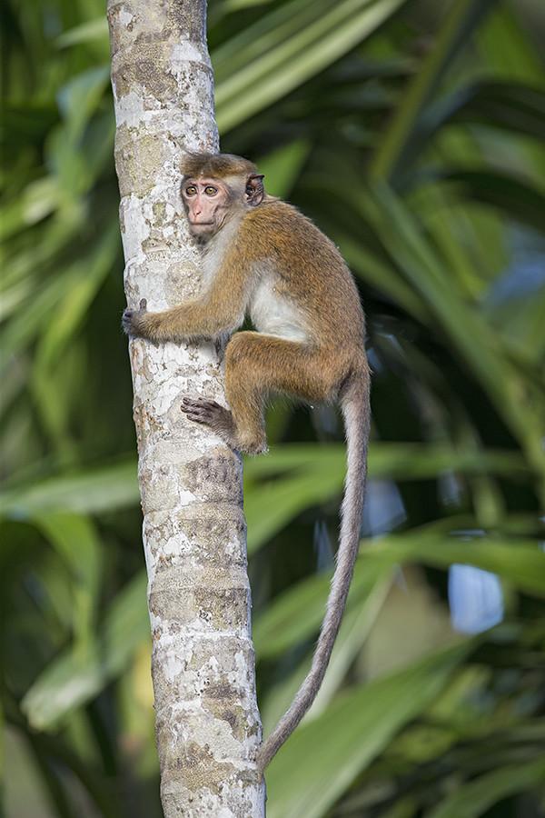 Toque Macaque 3