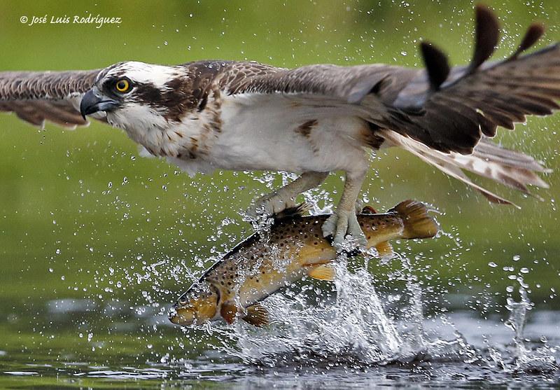 Osprey (Pandion haliaetus) - José Luis Rodríguez Sánchez