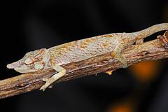 Camaleón con cara triste - Sad faced chameleon