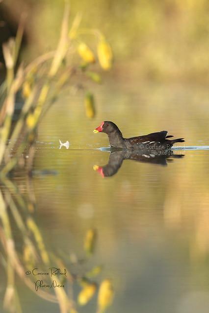 Gallinule poule-d'eau ( Gallinula chloropus ) - Common Moorhen #1194
