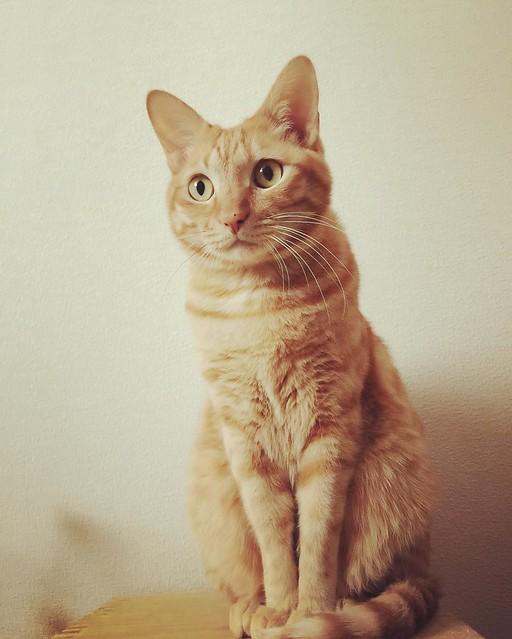 お行儀よし😼 #cat #cats #catsofinstagram #catstagram #instacat #instagramcats #neko #nekostagram #猫 #ねこ #ネコ# #ネコ部 #猫部 #ぬこ #にゃんこ #フワモコ部