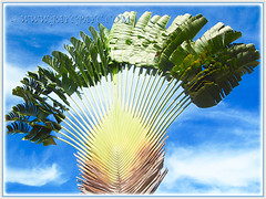 Ravenala madagascariensis's (Traveller's Palm, Traveller's Tree) banana-like leaves beautilfully fanned out, Feb 4 2016