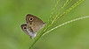 Ypthima huebneri – Common Four-ring Butterfly