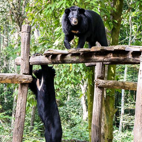 Bears in Tat Kuang Si Rescue Centre, near Luang Prabang, Laos ルアンパバーン郊外、クアンシーの滝にあるツキノワグマ保護センター