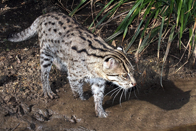 Photo of Fishing Cat