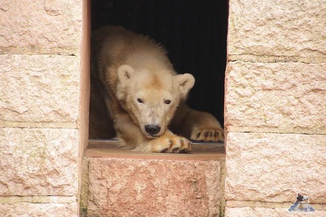 Eisbär Fiete im Zoo Rostock 12.03.2016   03