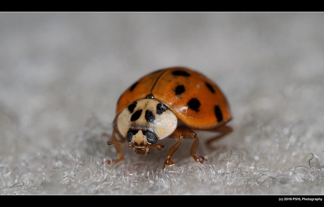 Multicolored Asian Lady Beetle (Harmonia axyridis)
