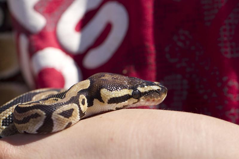 ball python8