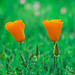 California Poppy by Xiang&Jie