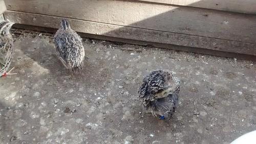 quail Mar 16 (3)
