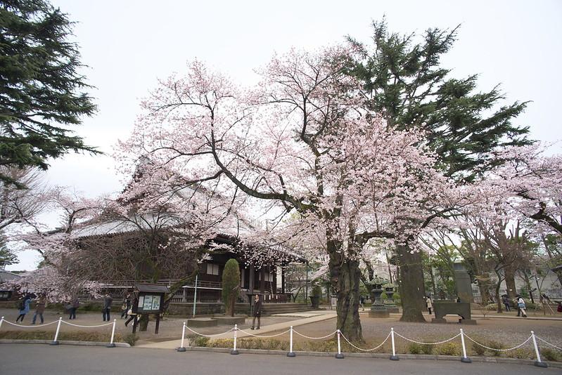 東京路地裏散歩 寛永寺の桜 2016年4月2日