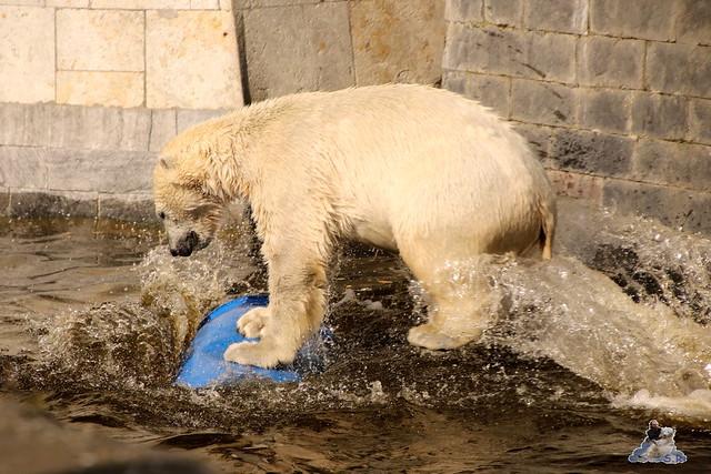 Eisbär Fiete im Zoo Rostock 16.04.2016  248