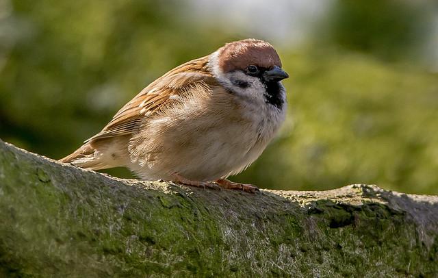 JWL3700 Tree Sparrow...