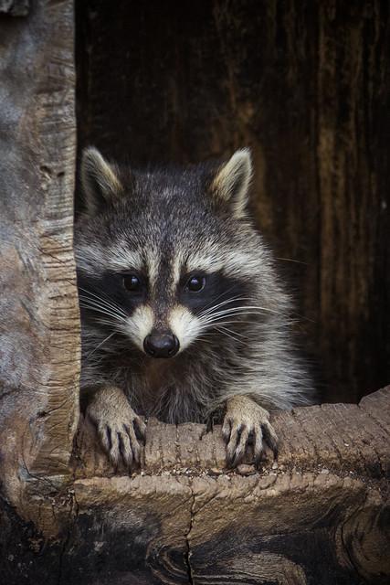 Raccoon pretending to be a bartender - Toronto Zoo, ON, Canada