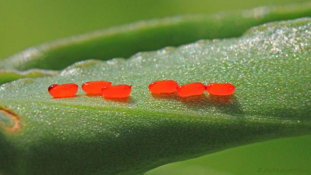 Kotummantelte Eiablage des Lilienhähnchens