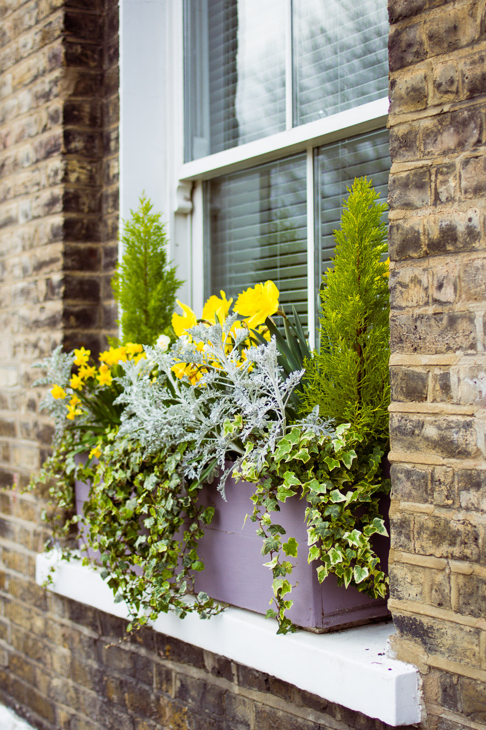 green ivy daffodils window boxes