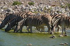 classical namibia: Zebras