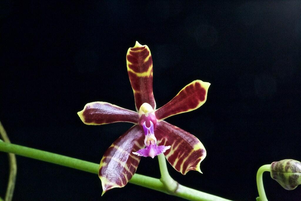 Phaaenopsis mannii x bastiani 23974287520_3180659fbb_b