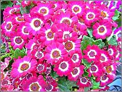 Cineraria Flowers .