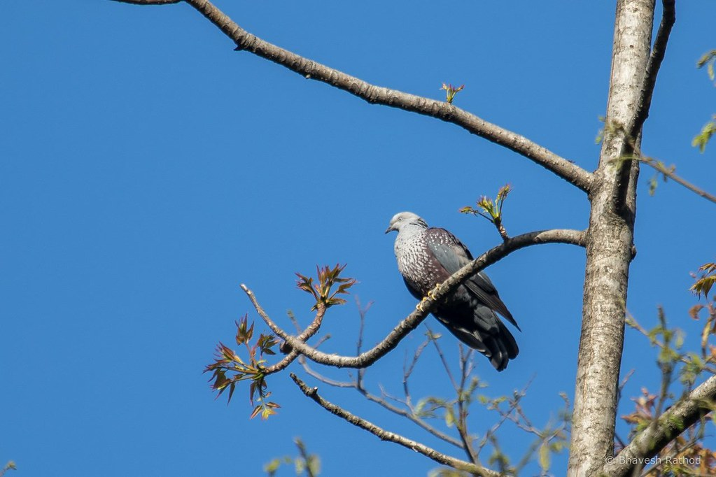 Speckled Wood Pigeon