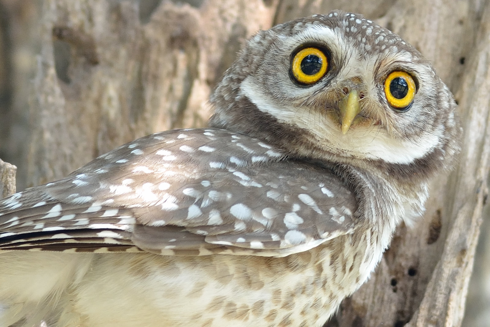 Spotted_Owlet_3246_O