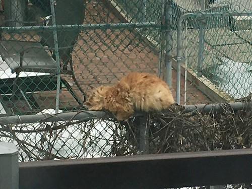 Toffee II sleeping on the fence !