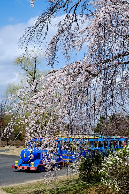 枝垂桜とパークトレイン