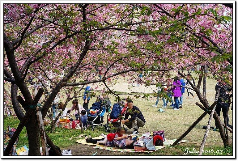 麗池公園河津櫻 (22)
