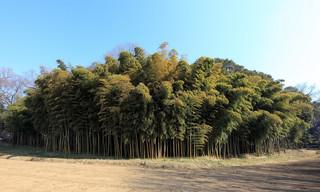 Bamboo Bush / 竹林(ちくりん)