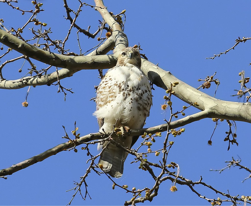 Juvenile red-tail on the Lower East Side