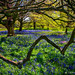 Bluebells! by James Neeley