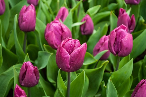 Rainy Bed of Tulips
