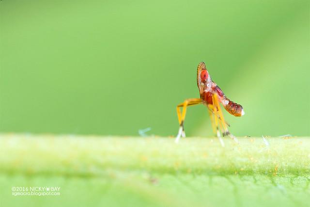 Planthopper nymph (Fulgoromorpha) - DSC_7300
