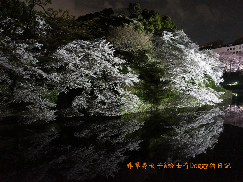 日本東京北之丸公園千鳥之淵賞夜櫻花07