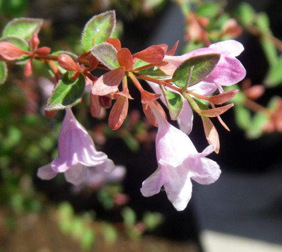 Abelia uniflora 26263359670_0a0ec4844f_o