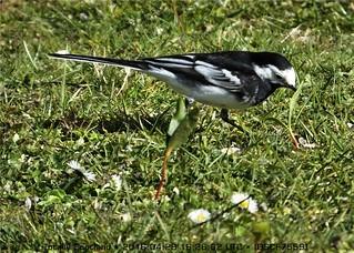 Garden birds DSCF7559