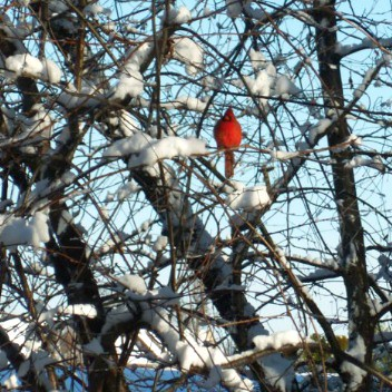 Cardinal in snowy tree