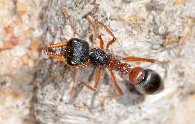 Jumping ant