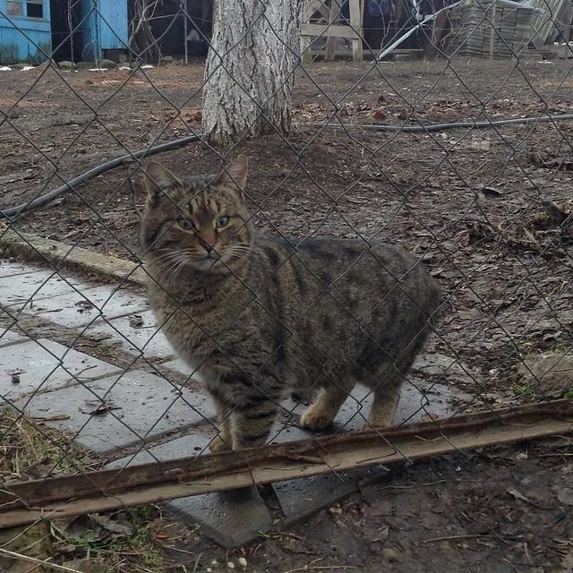 Тигруша чуял, что я готовлю паштет из бараньей печени, и был оскорблен, что его не пригласили))) #котикиправятмиром