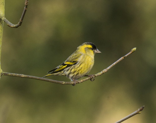 Siskin, The Lodge RSPB, 7th February 2016