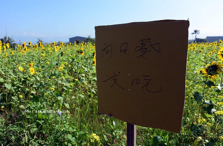 中投草商向日葵花田02