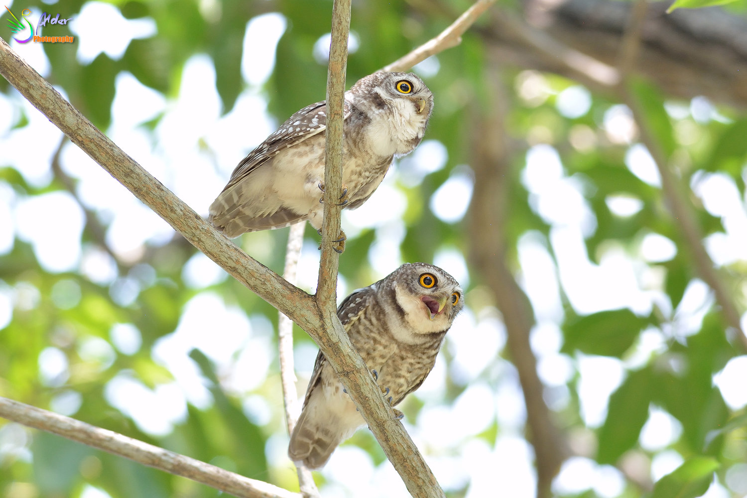 Spotted_Owlet_3224