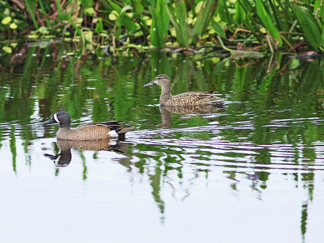 Blue-winged Teal 20160221