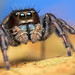 Phidippus clarus jumping spider by Tibor Nagy