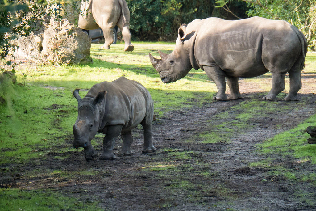 Kilimanjaro Safaris - rhinos