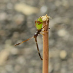 aranypetés poloska - Gonocerus acuteangulatus
