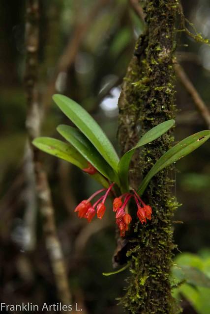 Maxillaria Miniata In Situ.