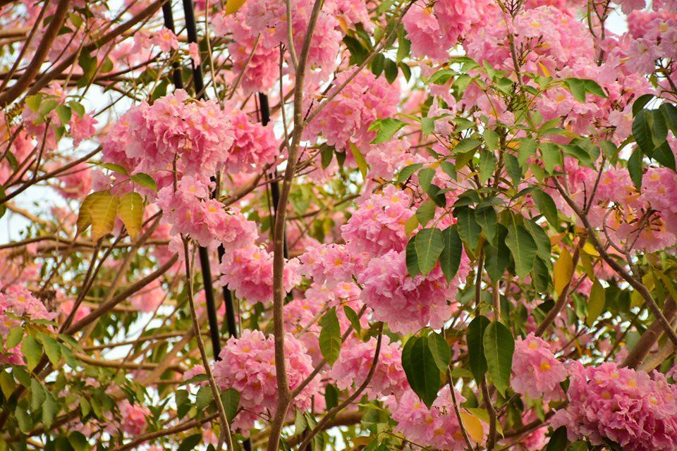 Tabebuia rosea (13)